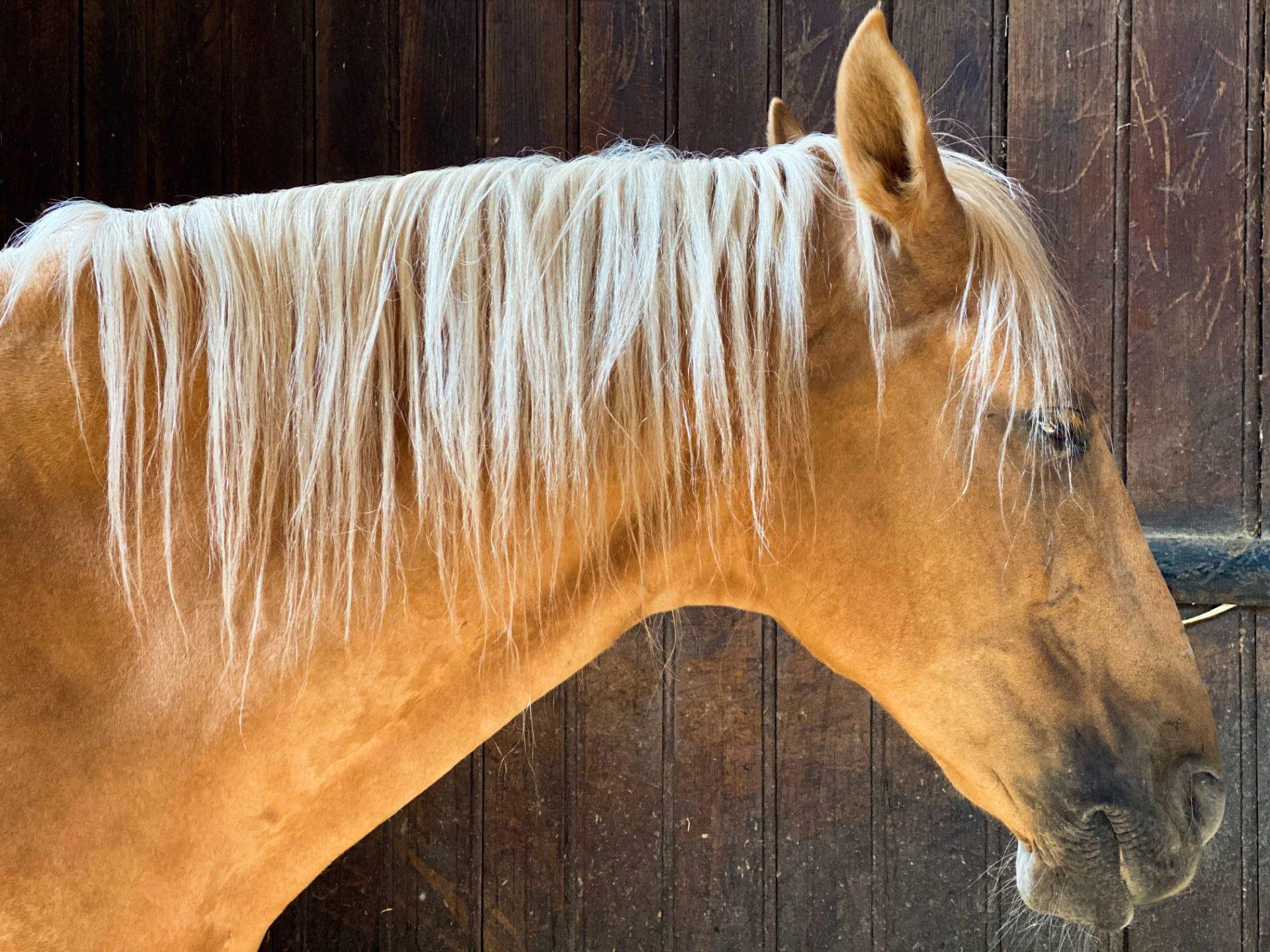 סוסים בשאנטיי